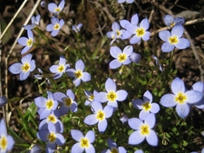 Bluets In Sun From Craggy Gardens NC Asheville
