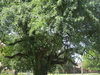 Bodock Tree The Oldest In Rayville
