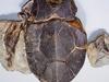 Bothriolepis