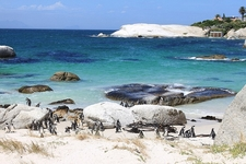 Boulder Beach SA Penguin Colony