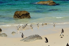 Boulders Beach Penguins SA Cape Peninsula