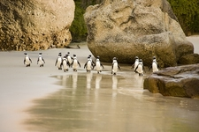 Boulders Beach Penguins SA Cape Point