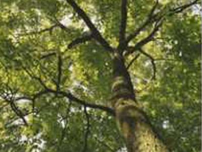 Boyd Big Tree Conservation Area