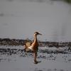 Brahminy Duck In Chilika