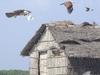 Brahminy Kites And Slender Billed Gulls At PCWBS