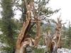Bristel Cone Pines Wheeler Peak