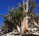 Bristlecone Pine, White Mountains, California.