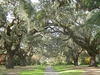 Brookgreen Gardens Oak