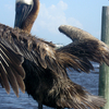 Brown Pelican Ponce Inlet