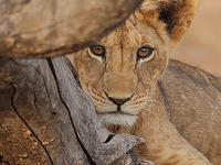 Desert Emerald - Kenya