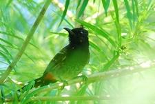 Bulbuli In Sundarbans WB