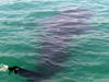 Butanding Whale Shark