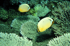 Butterfly Fish On Coral