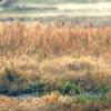 Buttonwillow Tupman Tule Elk Reserve California Ungulate Gu