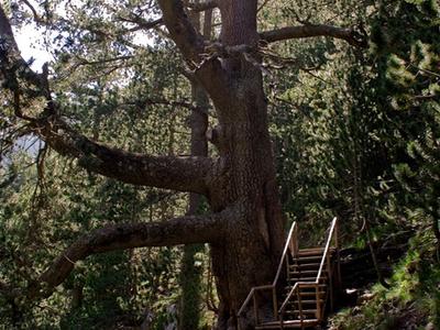 Baikushevs Pine