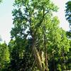 Balmville Tree