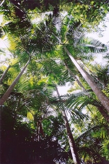 Bangalow Palm Forest At Middle Brother National Park