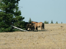 Baby Horse Custer Nf