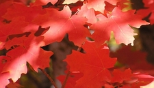 Bigtooth Maple Leaf