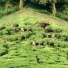 Bisons At Meghamalai