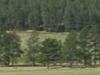 Bison Grazing On Prairie Grasses