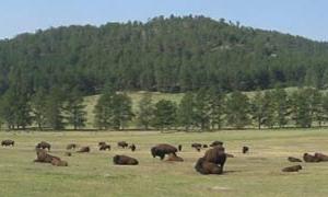 Wind Cave manada de bisontes