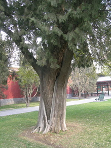Embraced Pagoda Tree And Arborvitae