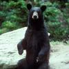 Black Bear Large