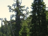Boole  Tree  Top