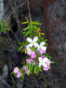 Imlay Boronia