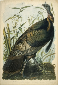 Wild Turkey, Lithograph