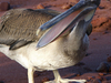 Brown Pelican On Island