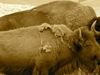 Buffalo Bison Pair