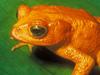Monteverde's Golden Toad
