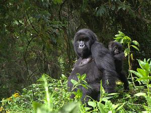 Easter Rwanda Gorilla Trekking Holidays Photos