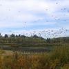 Cacling Geese - Jackson Bottom WP - OR