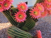 Cactus Flowering Sun City West