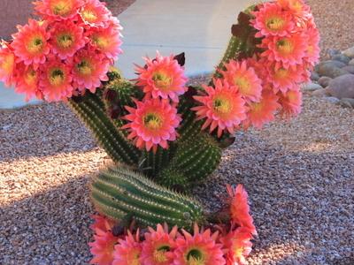 Cactus Flowering Sun City West