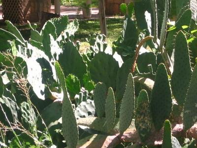 Cactus In  Del  Rio