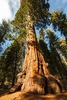 CA - Giant Sequoia Tree