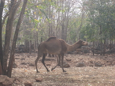 Camel At Tiger Temple