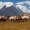 Camel Herd With Altai Mountains
