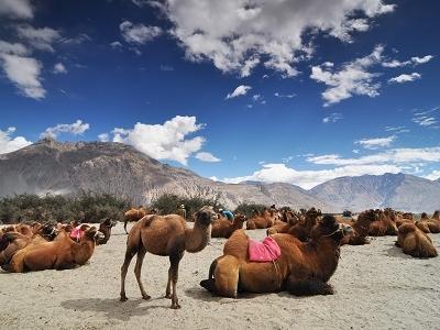 Camels In Nubra Valley
