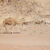 Camels Walking In Wadi Rumm