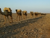 Camel Train @ Dallol - Danakil Depression ET