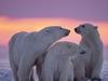 Canadian Arctic Polar Bear Family