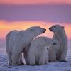 Canadian Polar Bear Family