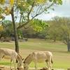 Caneel Bay Free Roaming Wild Donkeys
