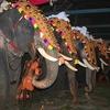 Caparisoned Elephants