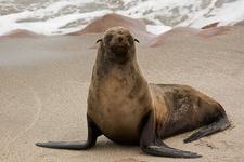 Cape Cross Seal - Namibia